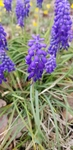 Muscari botryoides by Alyssa Mostrom