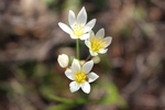 Nothoscordum bivalve by Bailey Coffelt