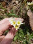 Nothoscordum bivalve by Alejandra Mendez