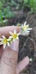 Nothoscordum bivalve by Alyssa Mostrom