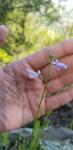 Nuttallanthus texanus by Alyssa Mostrom