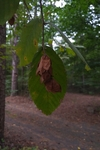 Ostrya virginiana by Brittany Edwards