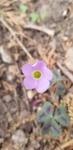 Oxalis violacea by Alyssa Mostrom