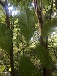 Oxydendrum arboreum by Joshua Poland