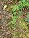 Parthenocissus quinquefolia by Bailey Coffelt
