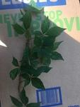 Parthenocissus quinquefolia by Devin Deaton