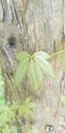 Parthenocissus quinquefolia by Alyssa Mostrom