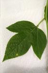 Passiflora incarnata by Brittany Edwards