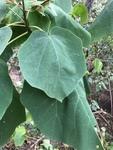 Paulownia tomentosa by Clay Williams
