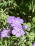 Phacelia hirsuta by David Henderson