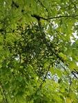 Phoradendron leucarpum by Bailey Coffelt
