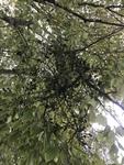 Phoradendron leucarpum by Joshua Poland