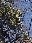 Phoradendron leucarpum by Daniel Petty