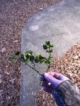 Phoradendron leucarpum by Creed Chapman