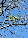 Phoradendron leucarpum by Trevor Jensen