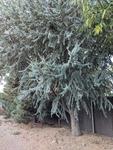 Picea pungens by Trevor Jensen