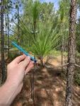 Pinus palustris by John Gadberry