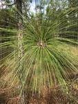 Pinus palustris by Caitlin Goldtrap