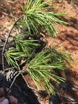 Pinus echinata by Devin Deaton