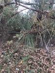 Pinus echinata by Creed Chapman