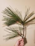 Pinus taeda by Bailey Coffelt