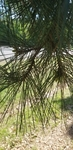 Pinus echinata by Alyssa Mostrom