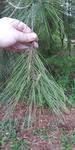 Pinus echinata by Lily Knight