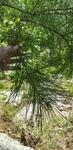 Pinus taeda by Alyssa Mostrom