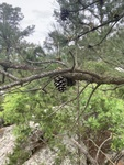 Pinus echinata by Noah Balkman