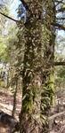Pleopeltis michauxiana by Alyssa McElroy