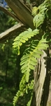 Pleopeltis michauxiana by Alyssa Mostrom