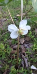Podophyllum peltatum by Lily Knight