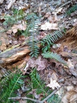 Polystichum acrostichoides by Creed Chapman