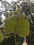 Populus deltoides by Dakota Nash