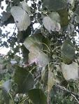 Populus deltoides by Joshua Poland