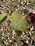 Populus deltoides by Dakota Smith