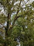 Populus deltoides by Trevor Jensen