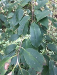 Prunus serotina by Devin Deaton