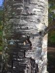 Prunus serotina by Noah Balkman