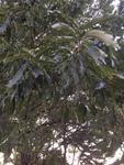 Quercus acutissima by Noah Balkman