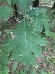 Quercus alba by Noah Balkman