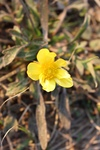 Ranunculus fascicularis by Bailey Coffelt