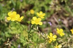 Ranunculus repens by Bailey Coffelt