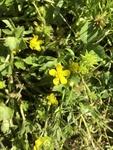 Ranunculus fascicularis by Devin Deaton