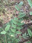 Robinia pseudoacacia by Joshua Poland