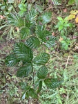 Rubus allegheniensis by John Gadberry