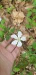 Rubus flagellaris by Alyssa Mostrom