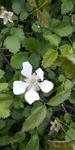 Rubus flagellaris by Lily Knight