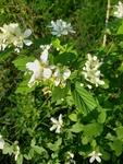 Rubus allegheniensis by Josh Melton