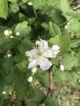 Rubus flagellaris by Devin Deaton